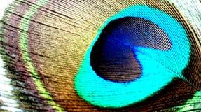 Fine della piuma del pavone su isolata su un fondo bianco fotografie stock libere da diritti