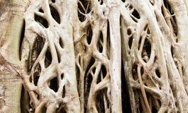 Fine della priorità bassa delle radici dell'albero di fico dello Strangler in su. Fotografia Stock