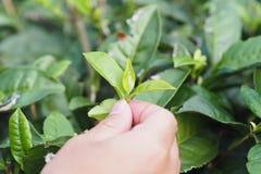 Fine della raccoglitrice del tè verde fino alla foglia di tè fotografia stock