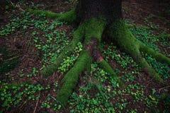 Fine della radice dell'albero su in foresta immagini stock libere da diritti