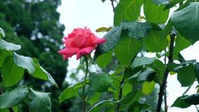 Fine della rosa dell'arancia su su un fondo delle foglie verdi archivi video