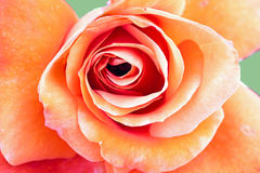 Fine della rosa dell'arancio in su Fotografia Stock
