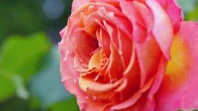 Fine della rosa dell'arancio in su stock footage