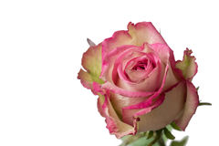 Fine della rosa di bianco e di rosa su Immagini Stock Libere da Diritti