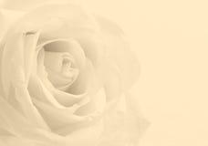 Fine della rosa di bianco su come fondo Fuoco molle Nella seppia tonificata r Fotografia Stock