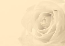 Fine della rosa di bianco su come fondo Fuoco molle Nella seppia tonificata r Fotografia Stock Libera da Diritti