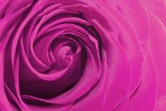Fine della rosa di colore rosa in su Immagini Stock