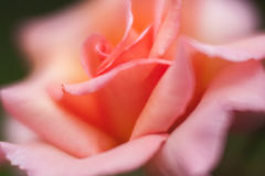 Fine della rosa di colore rosa in su Fotografia Stock