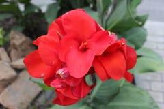 Fine della rosa di colore rosso in su Fotografie Stock
