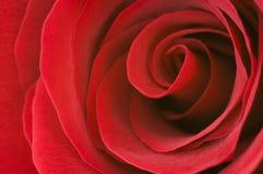Fine della rosa di colore rosso in su Fotografie Stock Libere da Diritti