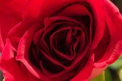 Fine della rosa di colore rosso in su Immagine Stock
