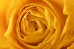 Fine della rosa di giallo su Immagine Stock