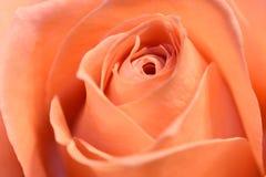 Fine della Rosa in su Immagini Stock Libere da Diritti