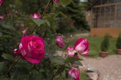 Fine della Rosa in su Immagine Stock