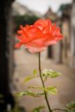 Fine della Rosa in su Fotografia Stock Libera da Diritti