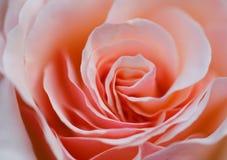 Fine della Rosa in su Fotografie Stock Libere da Diritti