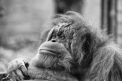 Fine della scimmia dell'orangutan sul ritratto in bianco e nero Immagine Stock