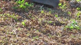 Fine della tartaruga del softshell di Florida su video d archivio