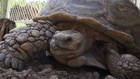 Fine della tartaruga dell'azienda agricola dell'alligatore di giorno di estate su 4k Florida S.U.A. archivi video
