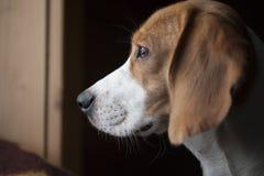 Fine della testa del cane da lepre su Immagini Stock Libere da Diritti