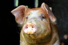 Fine della testa del ` del maiale su Fotografia Stock Libera da Diritti