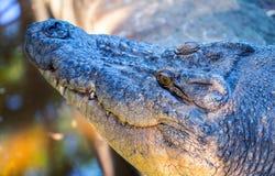 Fine della testa dell'alligatore sulla foto Primo piano della bocca del coccodrillo con i denti taglienti Fotografie Stock