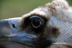 fine della testa dell'avvoltoio su 2006 fotografia stock libera da diritti