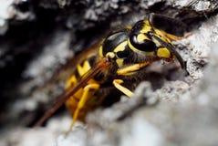 Fine della testa della vespa su Immagini Stock