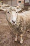 Fine della testa delle pecore su Animali da allevamento Fotografie Stock