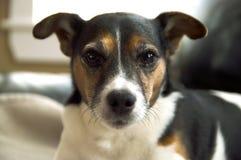 Fine della testa di cane del terrier di Jack Russell sull'estratto con bohkeh Fotografia Stock Libera da Diritti