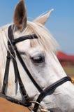 Fine della testa di cavallo bianco su Fotografie Stock