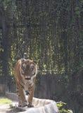 Fine della tigre di Bengala su Fotografia Stock Libera da Diritti