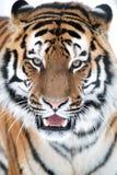 Fine della tigre siberiana su Immagini Stock Libere da Diritti