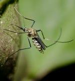 Fine della zanzara della tigre su Immagini Stock