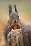 Fine dello scoiattolo rosso in su Fotografie Stock