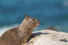 Fine dello scoiattolo a terra di California su Fotografia Stock Libera da Diritti