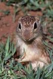 Fine dello scoiattolo a terra in su Immagine Stock Libera da Diritti