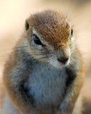 Fine dello scoiattolo a terra in su Fotografia Stock