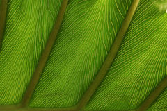 Fine detail of pattern in a leaf Royalty Free Stock Images