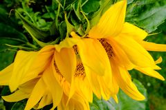 Close-up of a home grown sunflower showing its delicate details, seen near a neighbouring home. Stock Photography