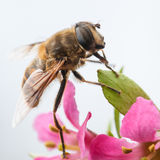 Fine Details. A small bee shot on top of an escallonia bush royalty free stock photography