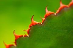 Fine details of the Santa Cruz Beehive Cactus royalty free stock photos