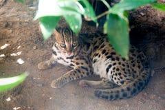 Fine di bengalensis di Prionailurus del gatto di leopardo su fotografie stock
