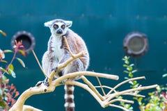 Fine di catta delle lemure delle lemure catta aka su Fotografia Stock