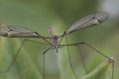 Fine di Cranefly su Fotografia Stock