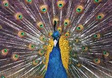 Fine di cristatus del pavone del pavone su che mostra belle piume di Immagine Stock