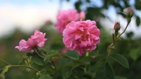 Fine di damascena della rosa di rosa su video d archivio