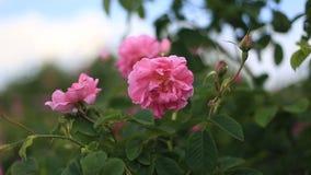 Fine di damascena della rosa di rosa su archivi video