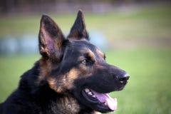 Fine di Dogs Portrait del pastore tedesco su Fotografie Stock
