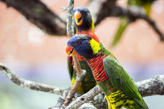 Fine di due Lorikeets Immagine Stock